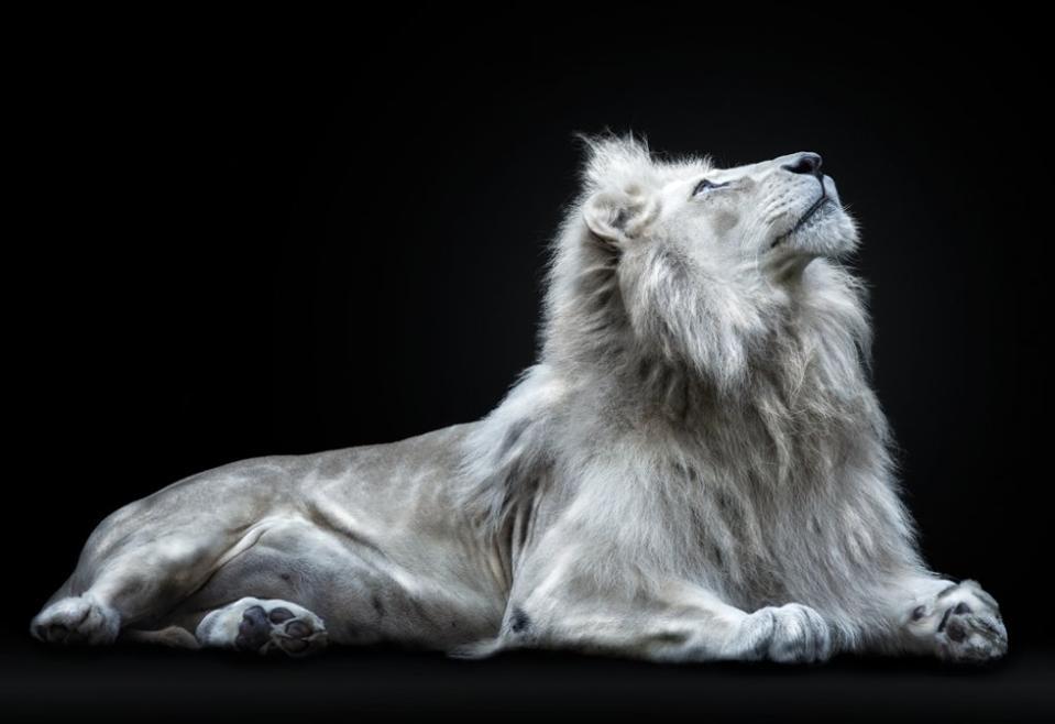 a rare white lion