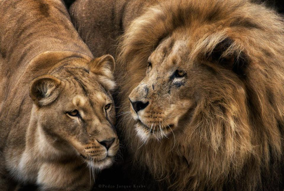 a lion and a lioness in close up
