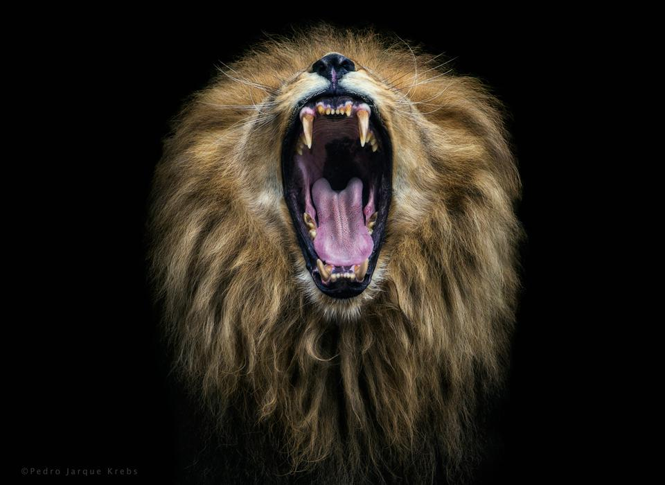 a lion roaring in close up