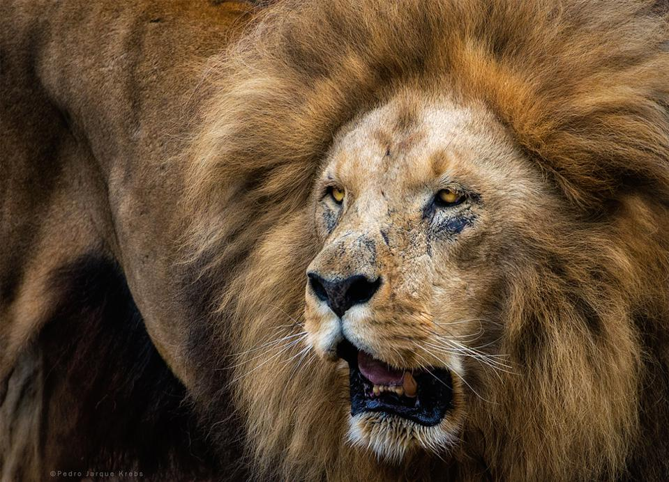 Face of lion in close up