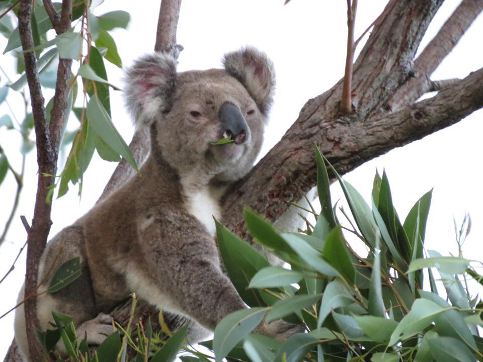 A koala in a eucalyptus tree.