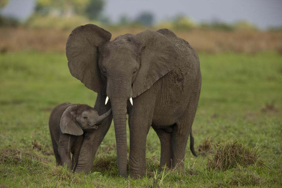 African elephants that need to be protected. Credit: BEVERLY JOUBERT