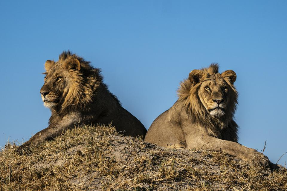 Conservation Africa News - Twp lions on a hill
