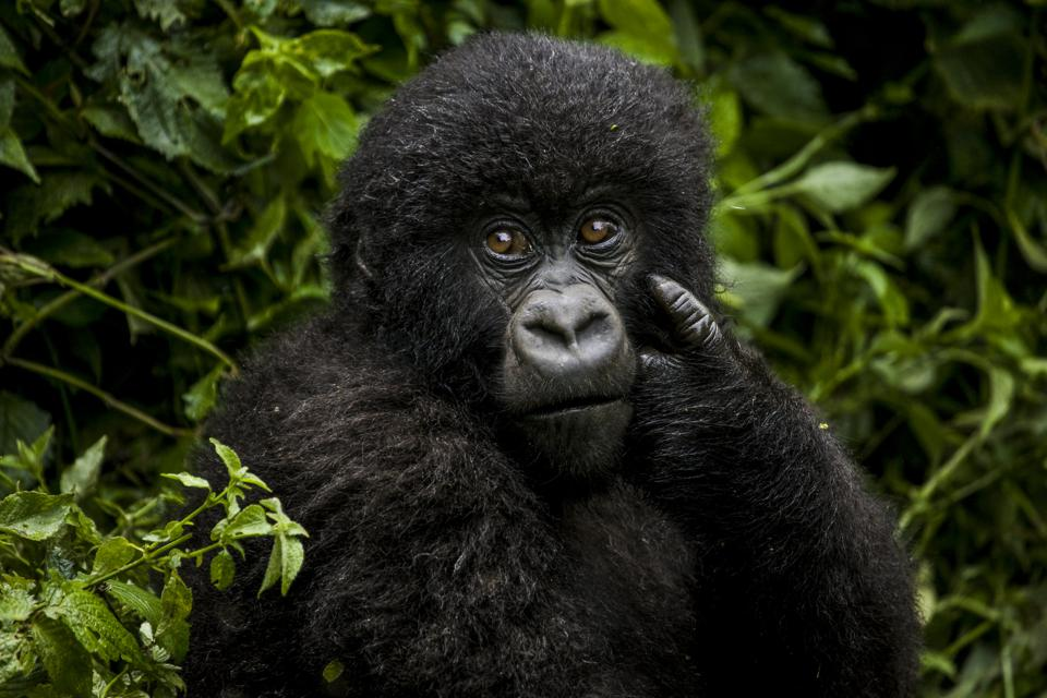 Conservation Africa News - A baby gorilla.