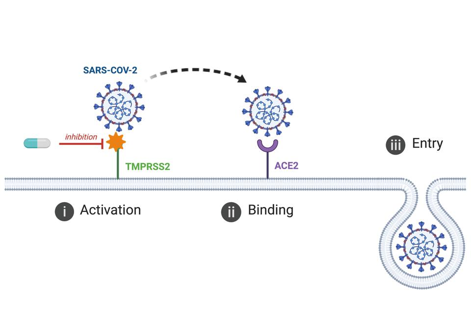 TMPRSS2 helping COVID-19 bind with ACE2 to sneak into our cells.