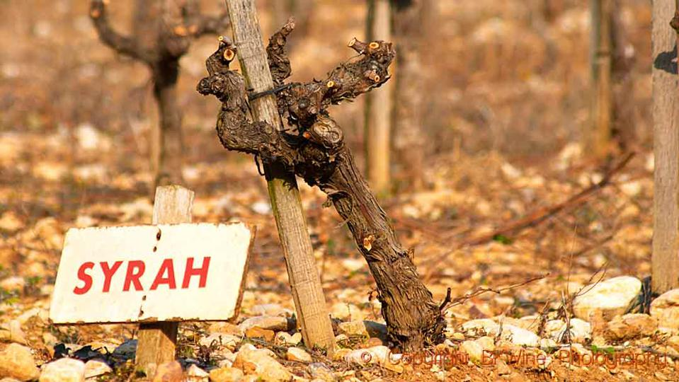 A syrah vine in winter in the Rhone Valley