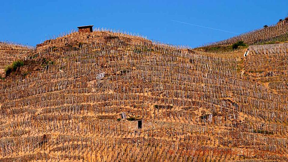 Syrah vineyards in Côte Rôtie in the northern Rhône Valley