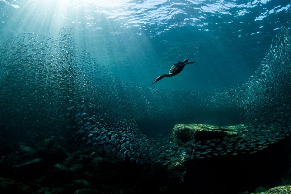 Cormorant bird fishing in the sea