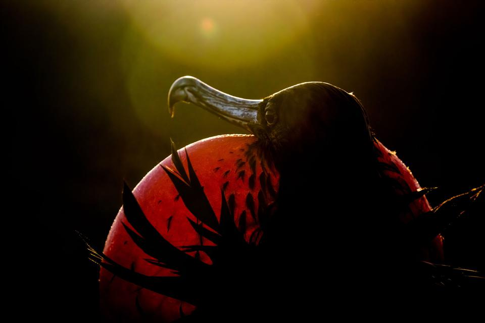 Magnificent Frigate bird, close up