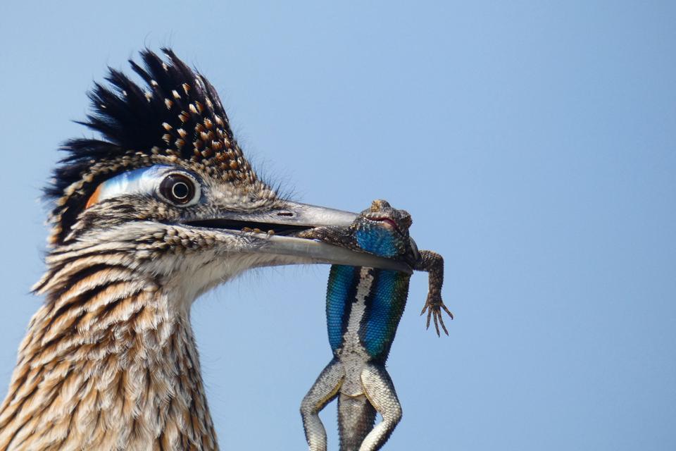 Roadrunner bird eats lizard