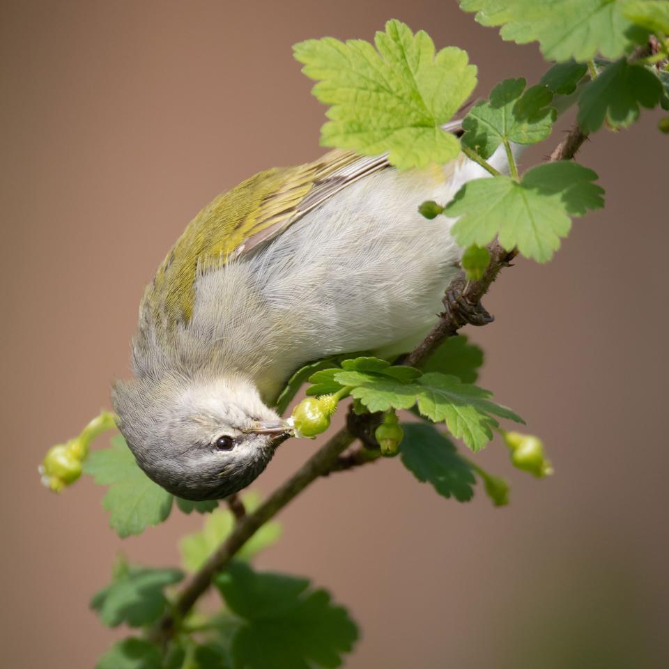 Warbler bird eating fruit