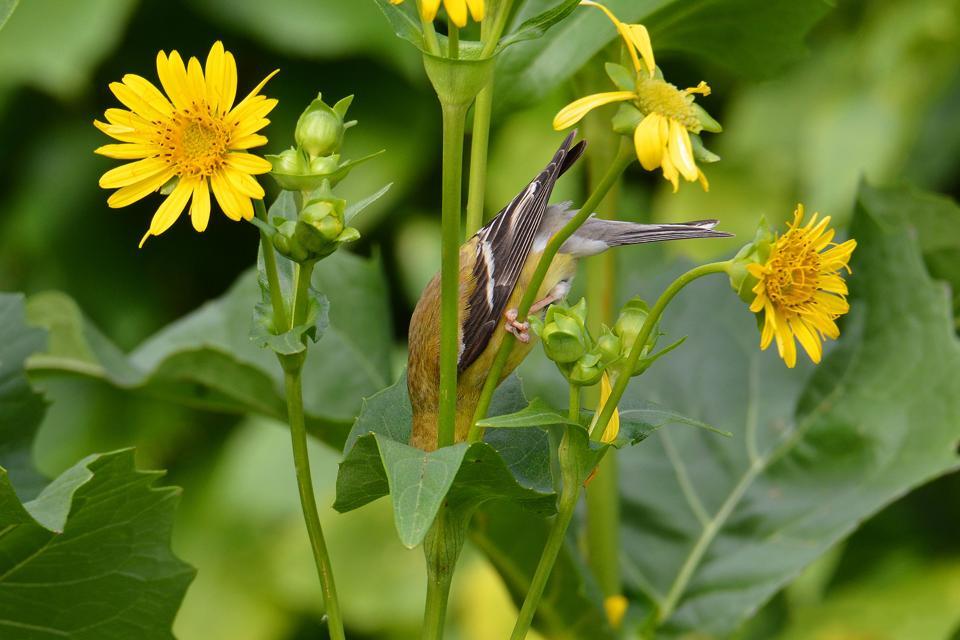 Goldfinch bird inside a flower