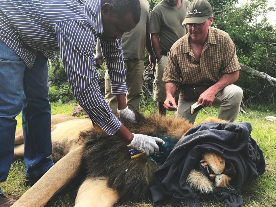 Conservation Africa News - Lion