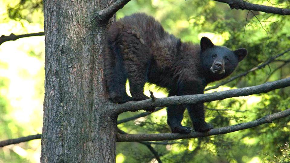 Bear, Prince of Wales Island