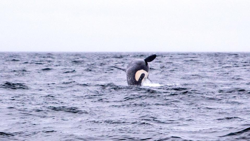 Orca in Southeast Alaska captured by Josh Laskin