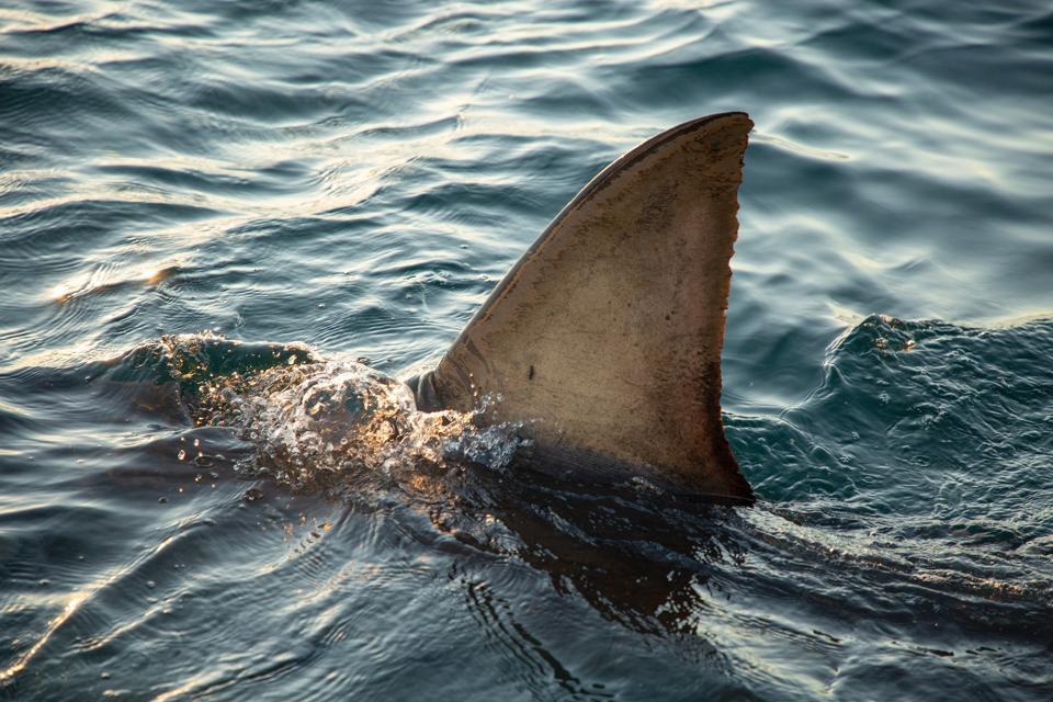 Nat Geo SharkFest