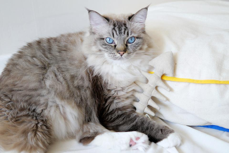 silver cat with blue eyes with fish toy