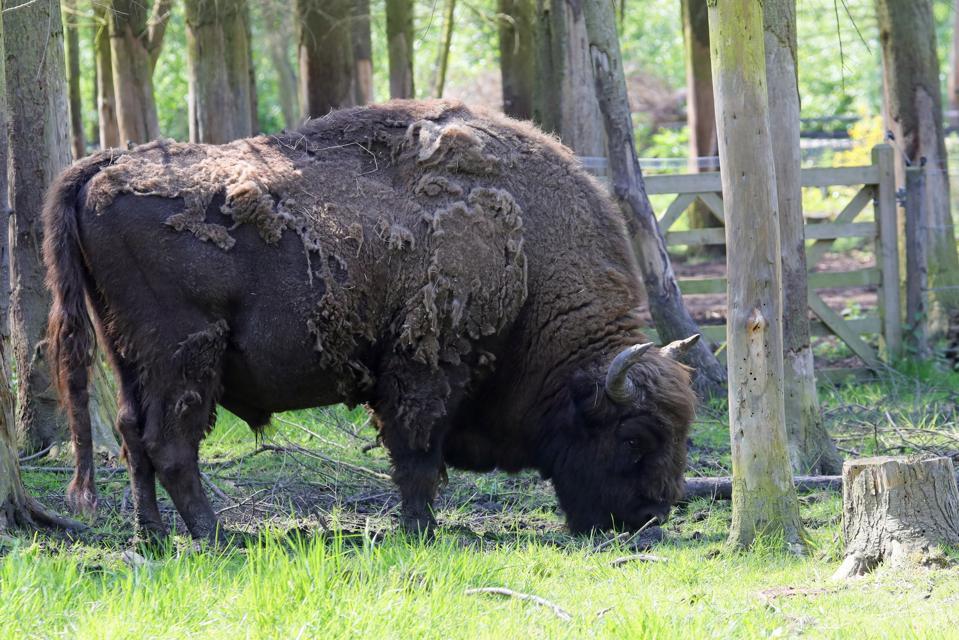 smaller_bison_at_wildwood_trust_credit_wildwood_trust4
