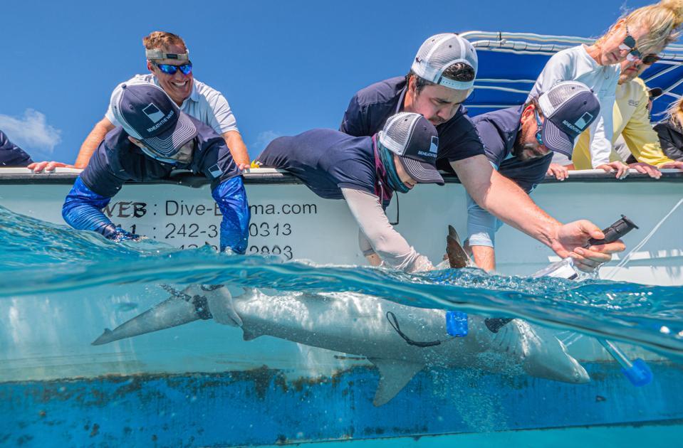Sotto le onde gli scienziati prendono campioni da squali da una barca.