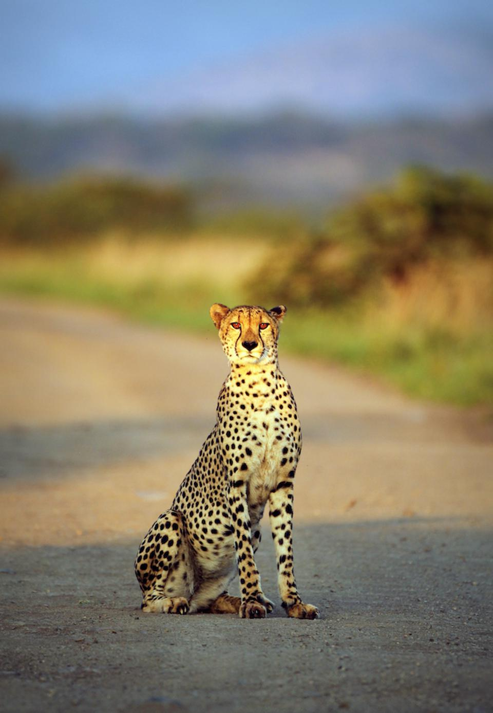 A Cheetah sitting on a gravel road.