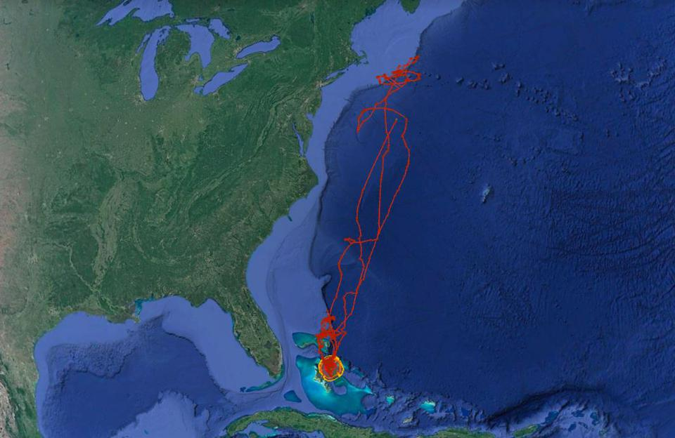 La migrazione che Manny lo squalo tigre portò dalle Bahamas alle acque al largo della Nuova Inghilterra.