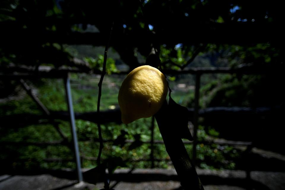 ITALY-AGRICULTURE-LEMONS