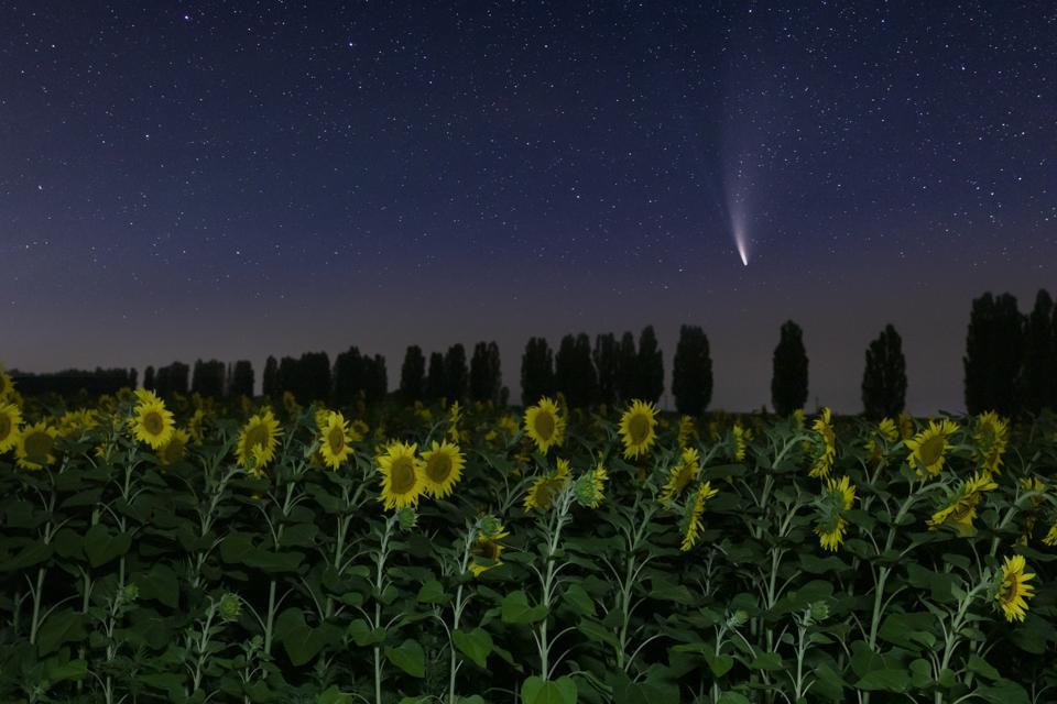 La cometa Neowise C / 2020 F3 su un campo di girasoli