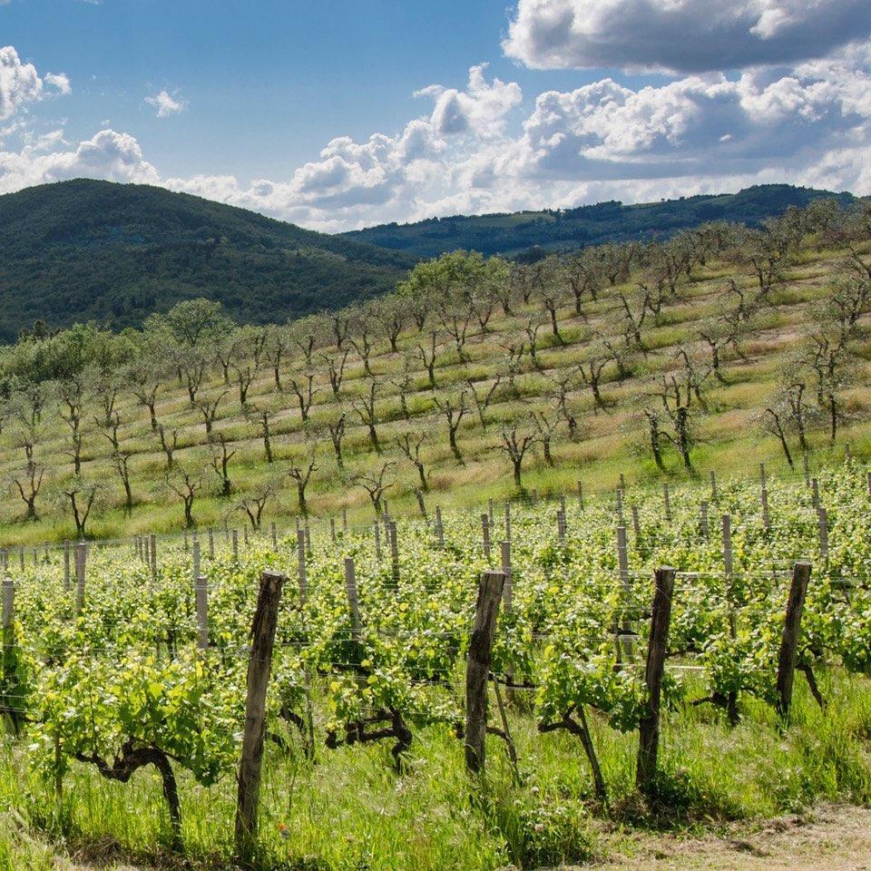 Querciabella Vineyards in Greve, Chianti, Tuscany