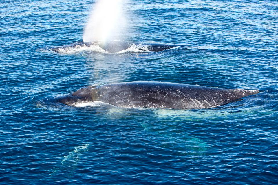 Two Humpback Whales surfacing and spraying water through blowhole.