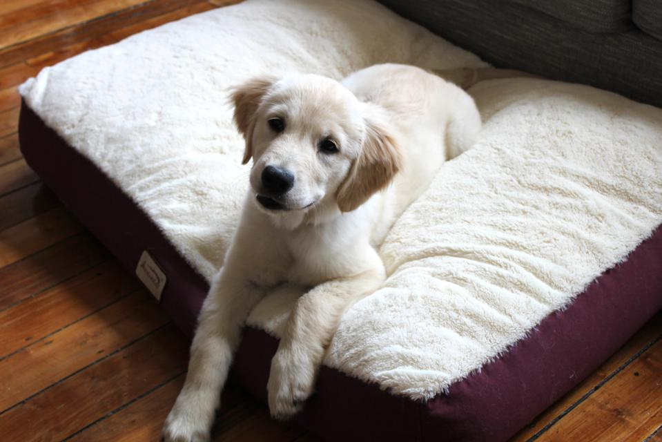Golden retriever puppy lying on bed