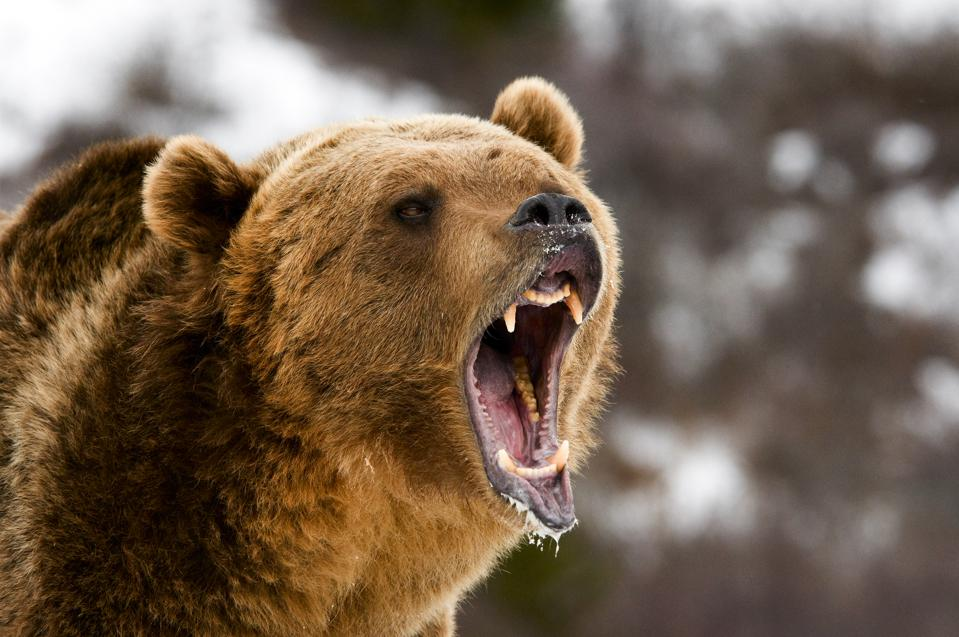 A grizzly bear roars at an unseen foe.