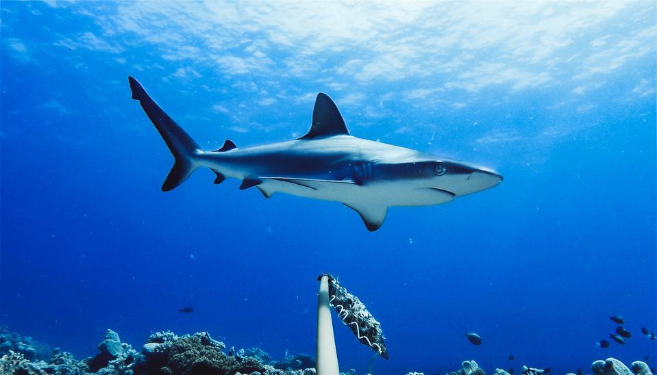 Reef shark near a BRUV
