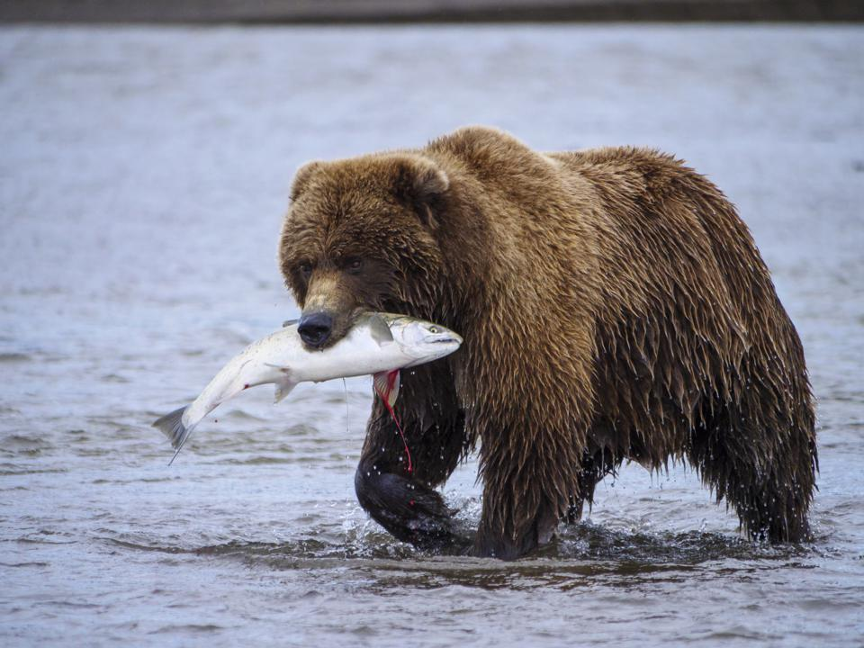Coastal brown bear, or Grizzly Bear, with a silver salmon it has caught. Cook Inlet, Alaska.