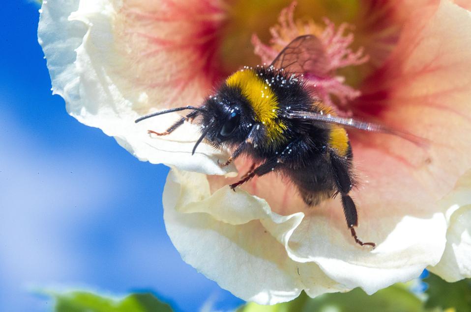 Bumblebees collect pollen