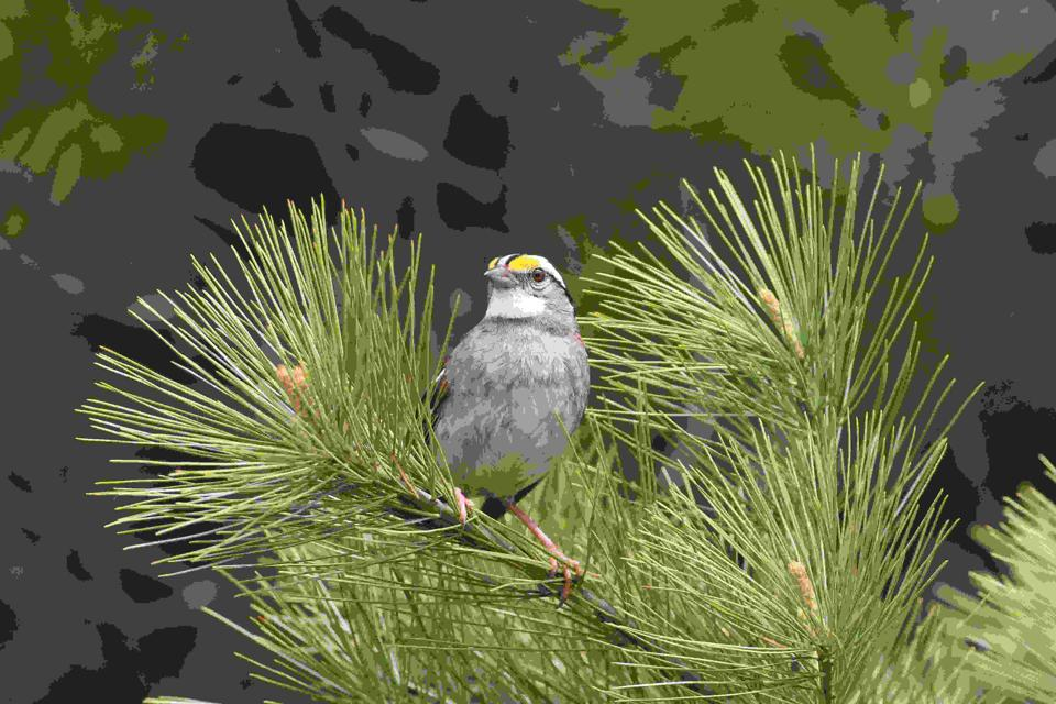 white-throated sparrow CREDIT Scott M. Ramsay