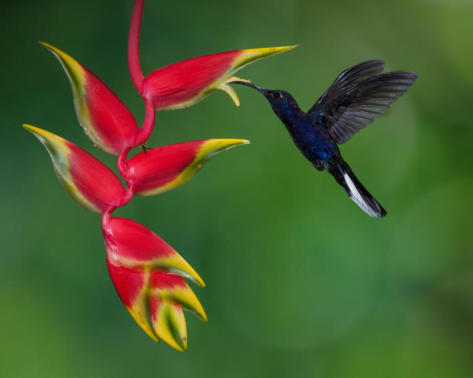 The Violet Sabrewing,  the largest hummingbird in Costa Rica feeding on red and yellow flowers
