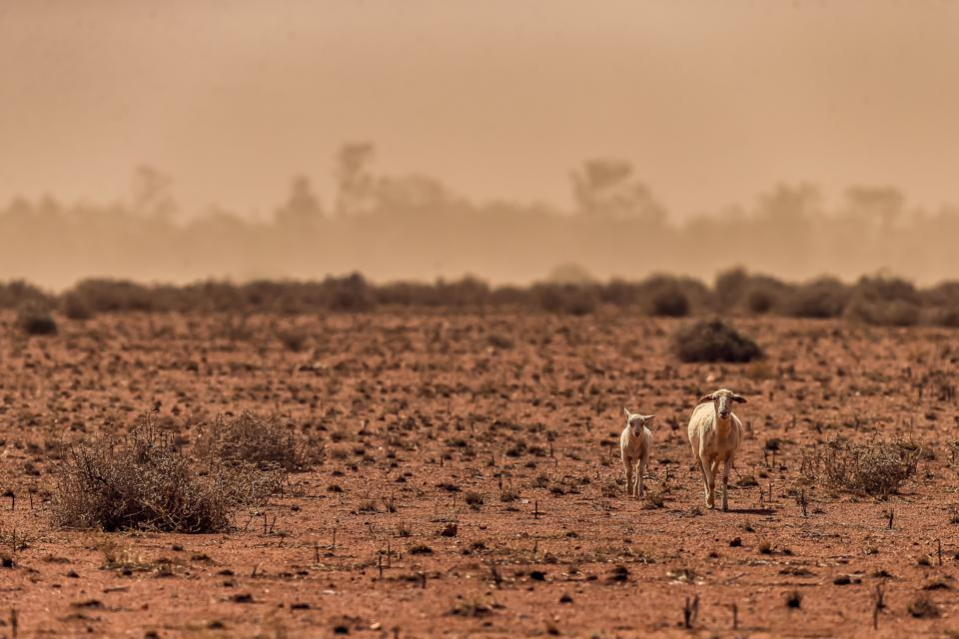 Thirsty sheep in Australia