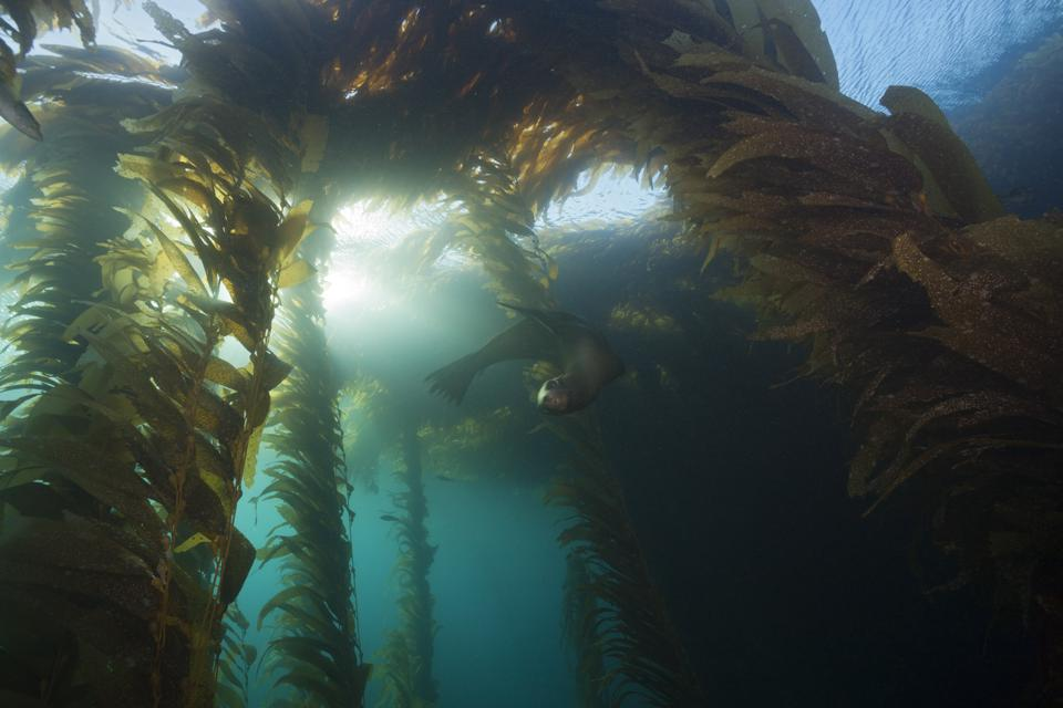 California Sea Lion in Kelp Forest, Zalophus californianus, Cedros Island, Mexico