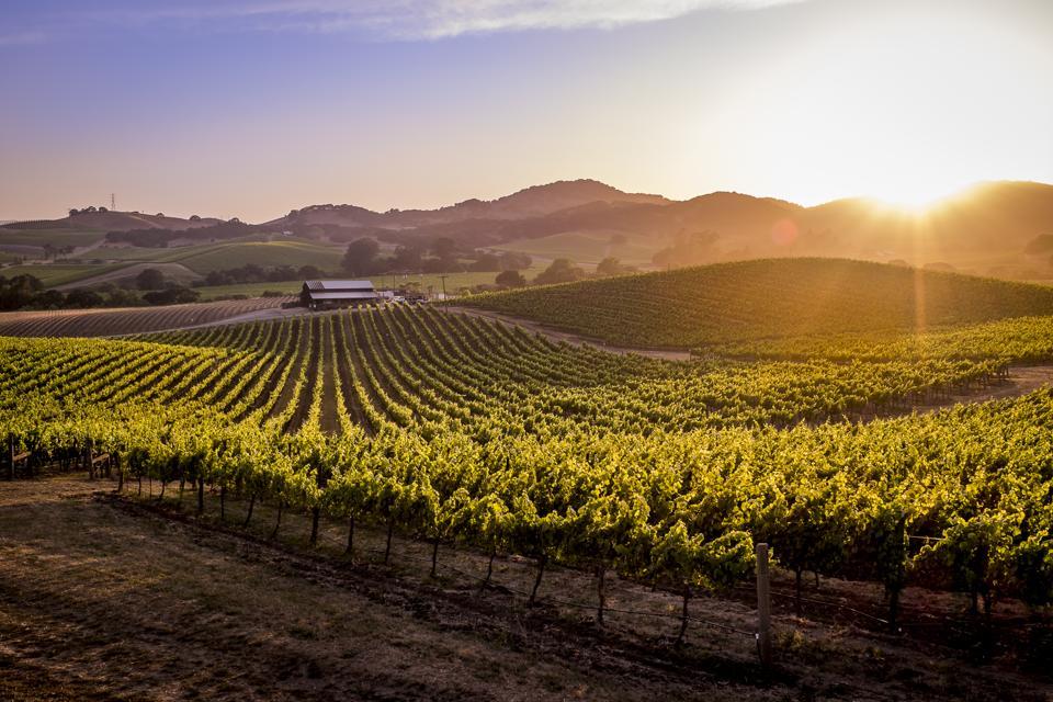 Vineyards at sunset in Napa Valley, California, USA.