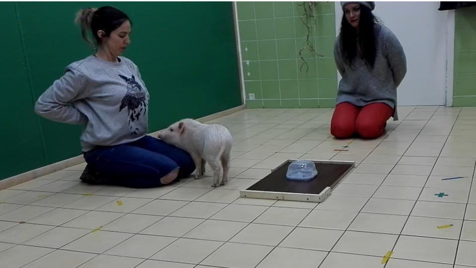 pig in test