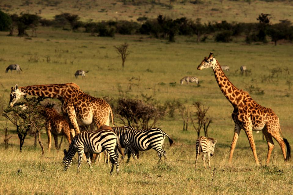 zebras and giraffes in the Maasai Mara