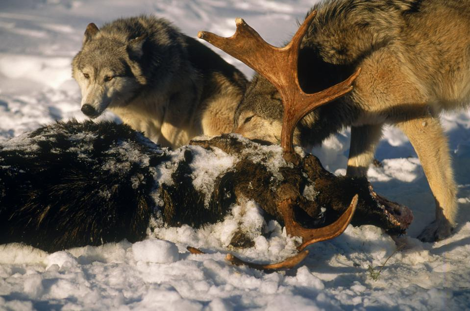 Timber wolves w/ kill, MT
