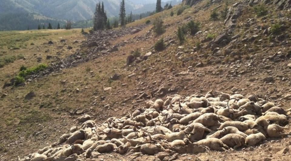 Pile of sheep trampled from wolf attack