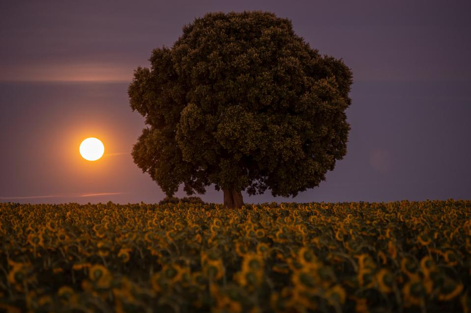 The full moon of August rises in a sunflowers plantation.