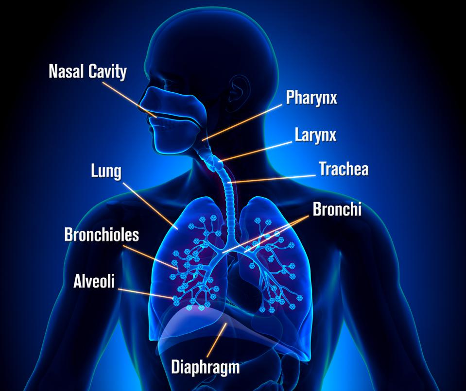 Respiratory System - detailed view