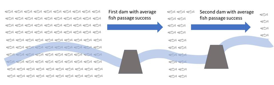 With the average upstream passage rate of 21% for fish (other than salmon), after two dams with average fish passage, only 4% of the original population will still be migrating.