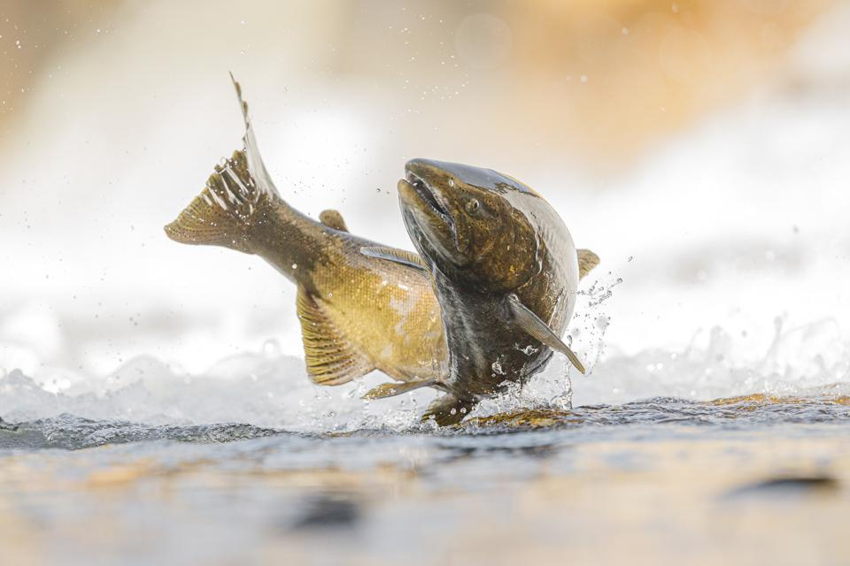 Close-up of salmon in water, Cobourg, Canada