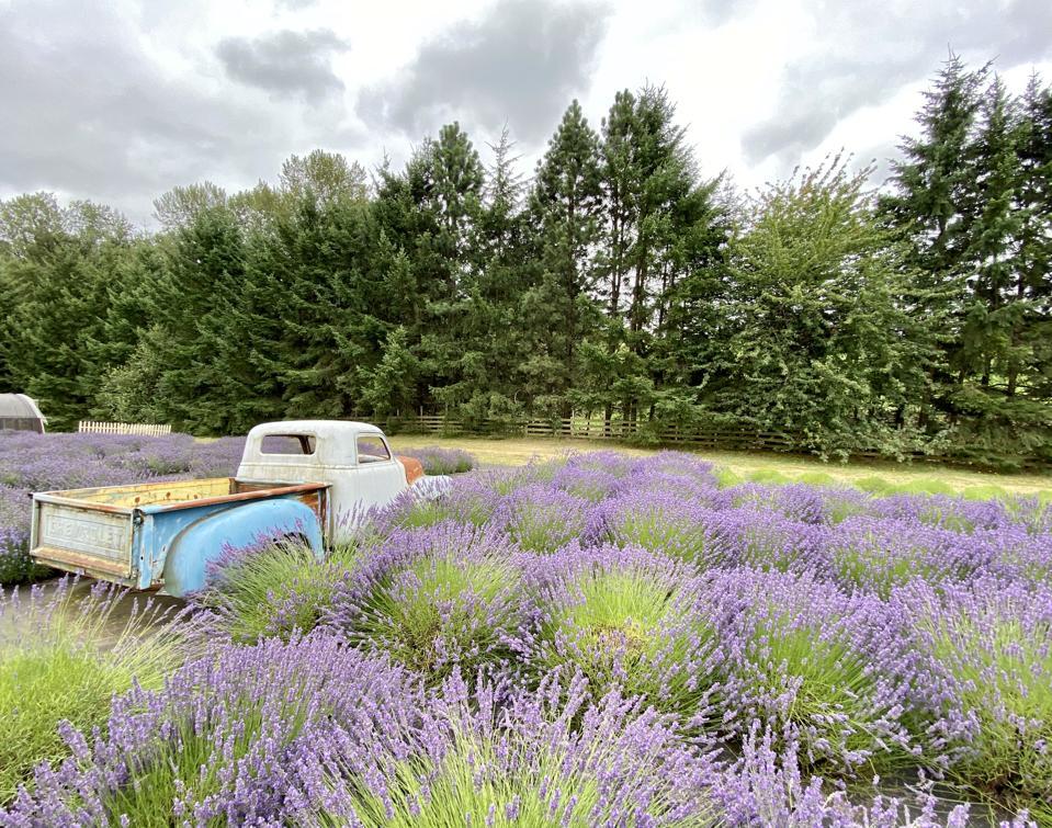 Wayward Wins lavender farm in Newberg, Oregon