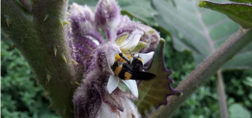 Bumblebees pollinating lulo flowers, Chameza, Casanare, Colombia, November 2018.
