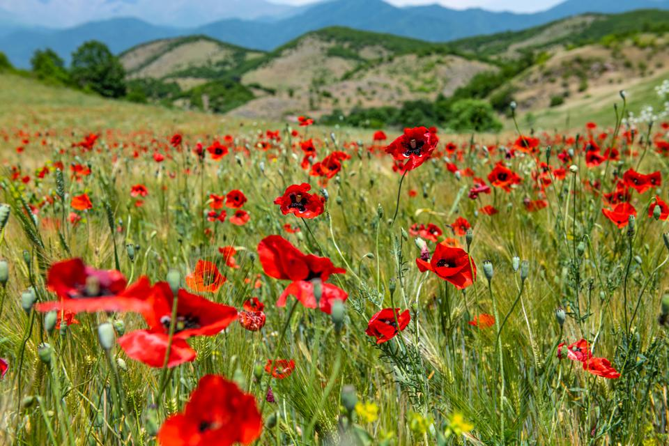 A wild poppy field in Nagorno-Karabakh